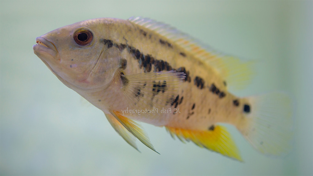 poisson Cichlasoma atromaculatum (2)