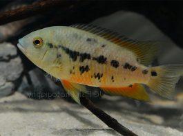 poisson Cichlasoma atromaculatum