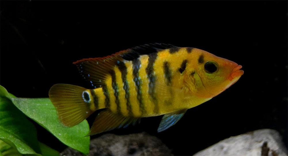 poisson Cichlasoma festae