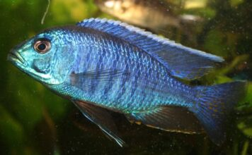 poisson Copadichromis azureus