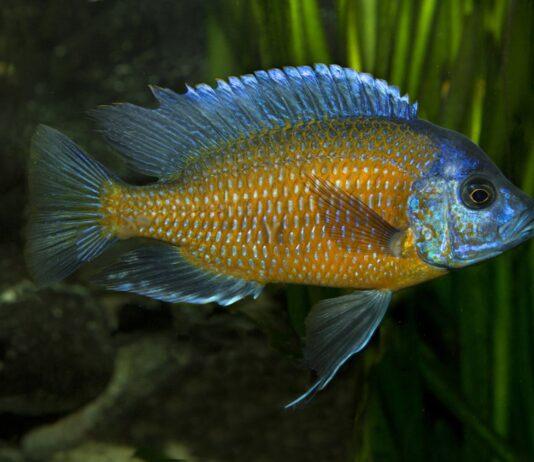 poisson Copadichromis borleyi