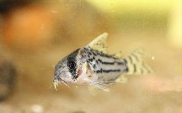 poisson Corydoras schwartzi (2)