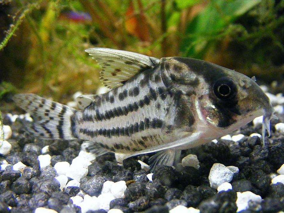 poisson Corydoras schwartzi