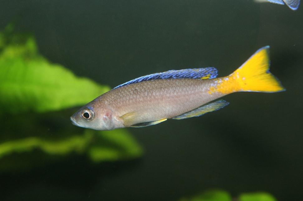 poisson Cyprichromis leptosoma