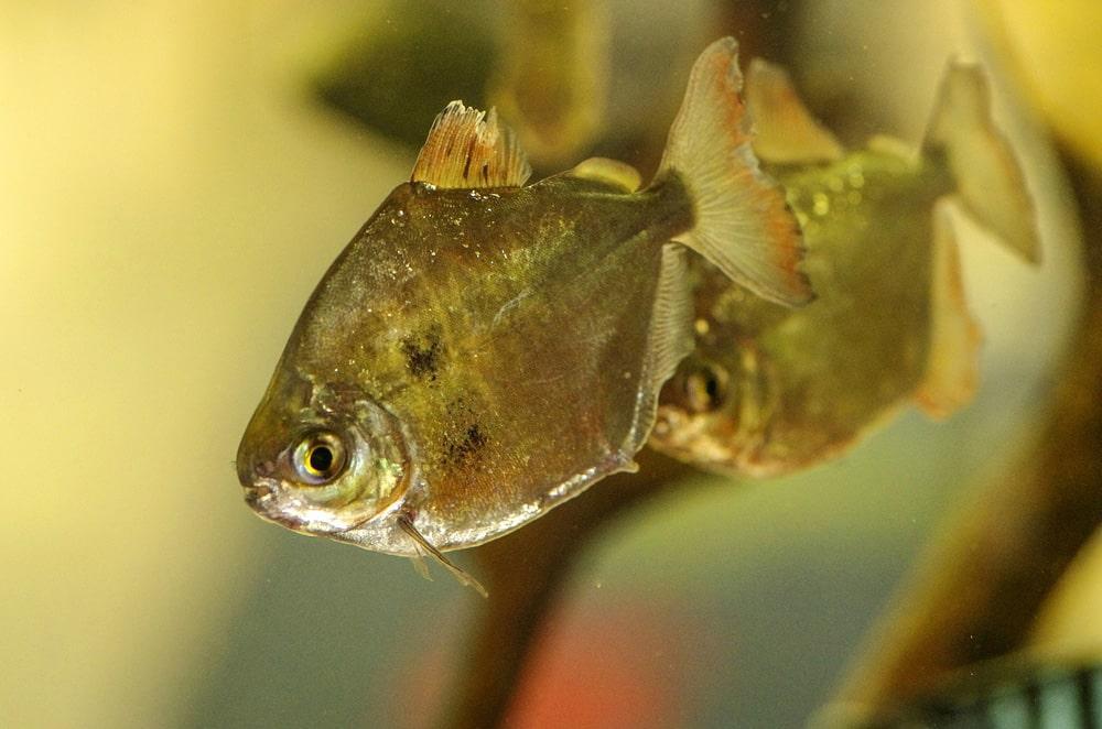 poisson Dollar d'argent