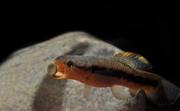 poisson Erythrinus erythrinus (2)
