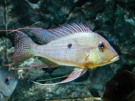 poisson Geophagus surinamensis