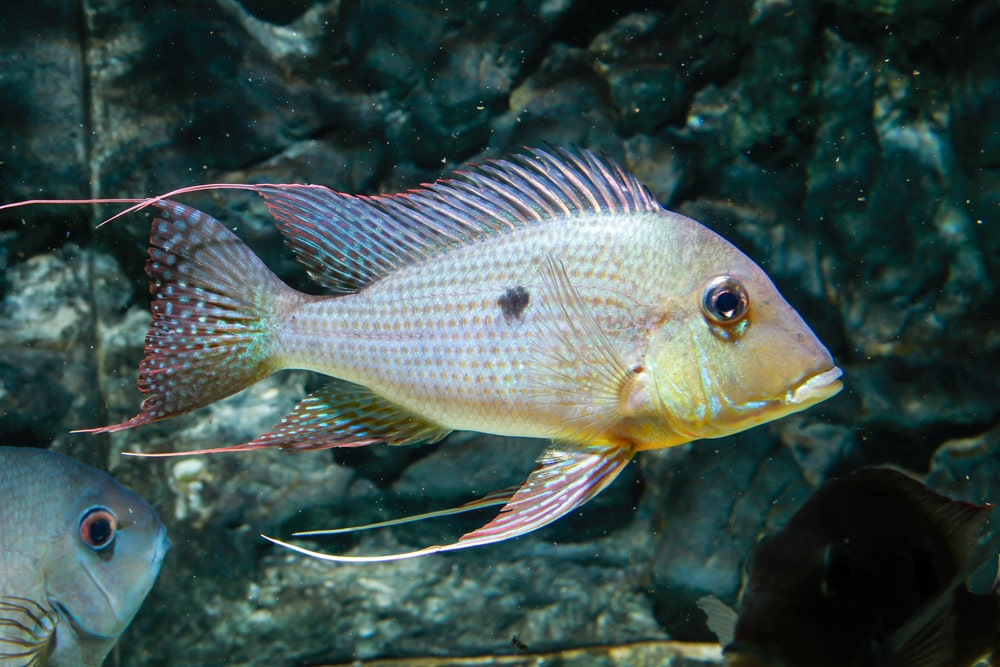 poisson Geophagus surinamensis