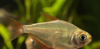 poisson Gymnocorymbus socolofi