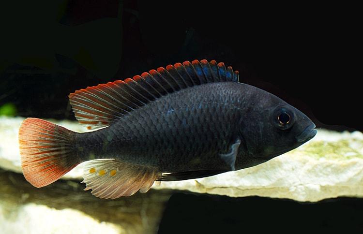 poisson Haplochromis nubilus