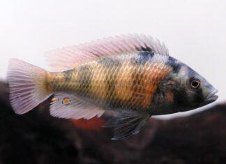 poisson Haplochromis obliquidens
