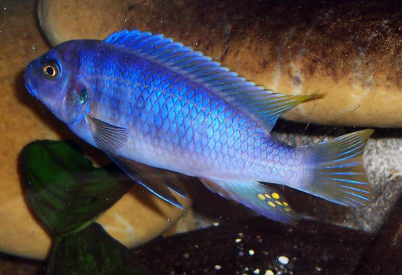 poisson Labeotropheus fuelleborni