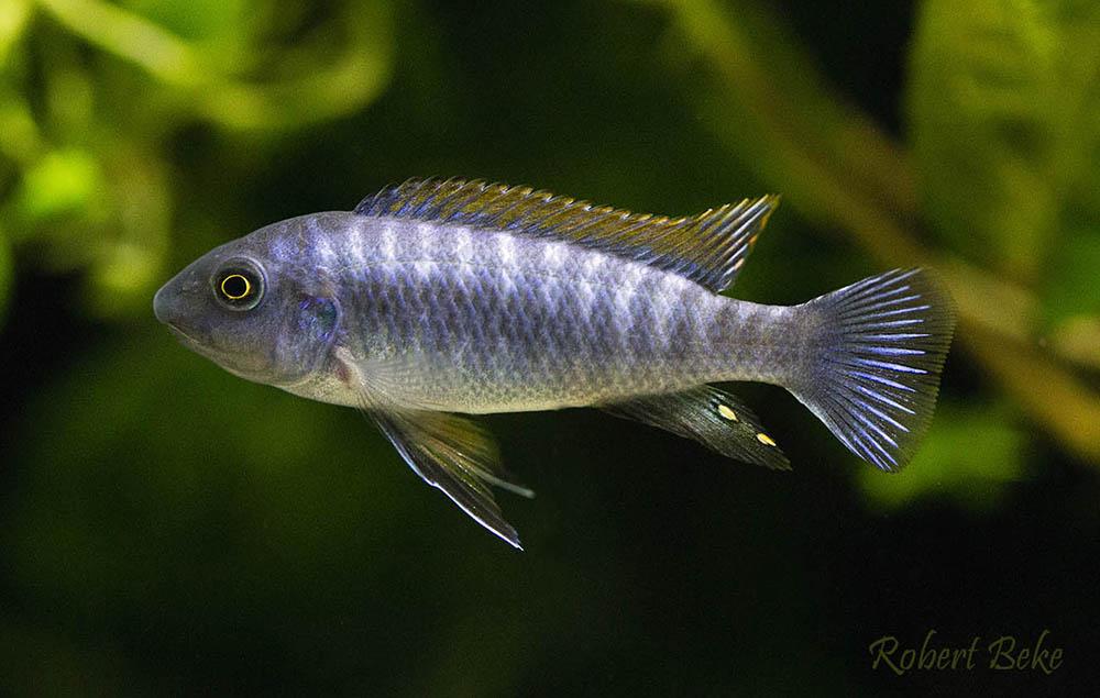 poisson Labeotropheus trewavasae