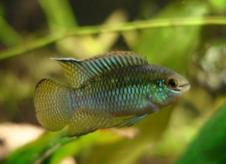 poisson Laetacara curviceps