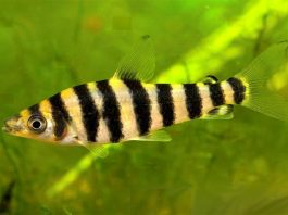 poisson Leporinus affinis