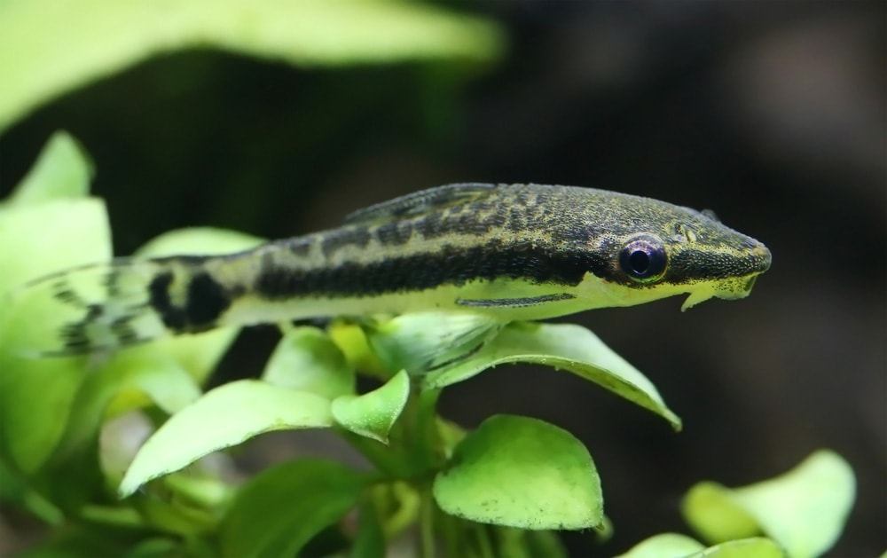 poisson Macrotocinclus affinis