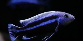 poisson Melanochromis chipokae