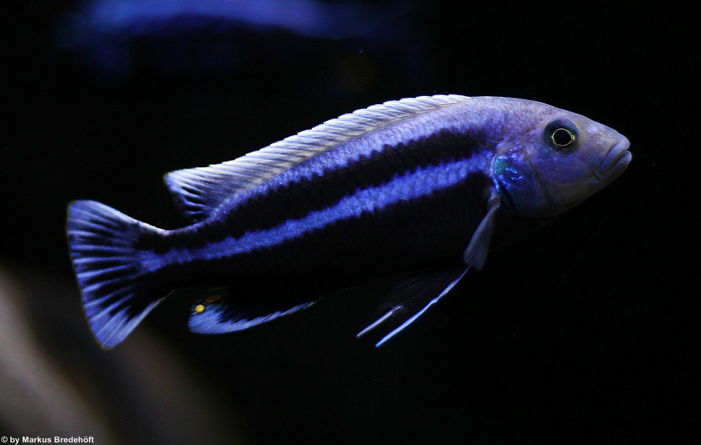 poisson Melanochromis chipokae
