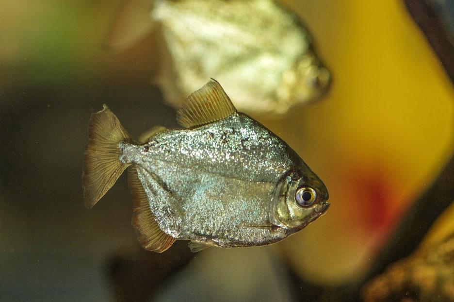 poisson Metynnis argenteus