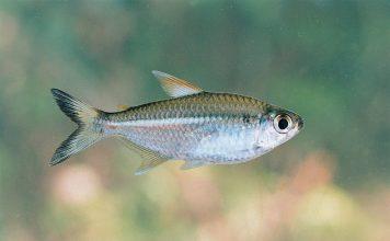 poisson Moenkhausia intermedia