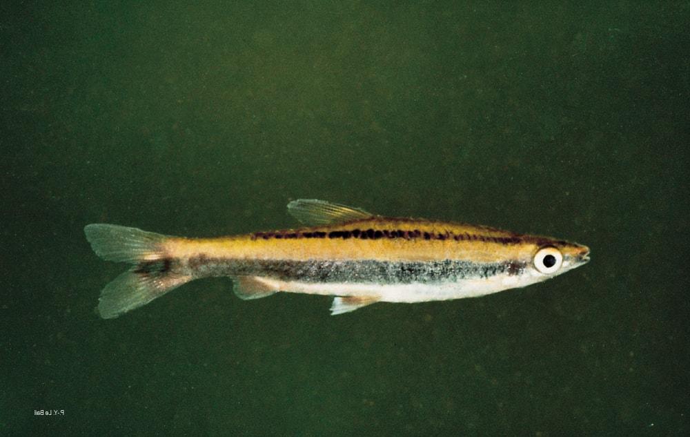poisson Nannostomus bifasciatus