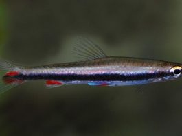 poisson Nannostomus harrisoni