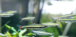 poisson Nannostomus trifasciatus