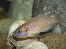 poisson Neolamprologus brevis