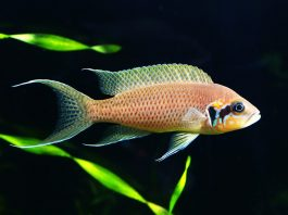 poisson Neolamprologus brichardi