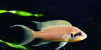 poisson Neolamprologus brichardi