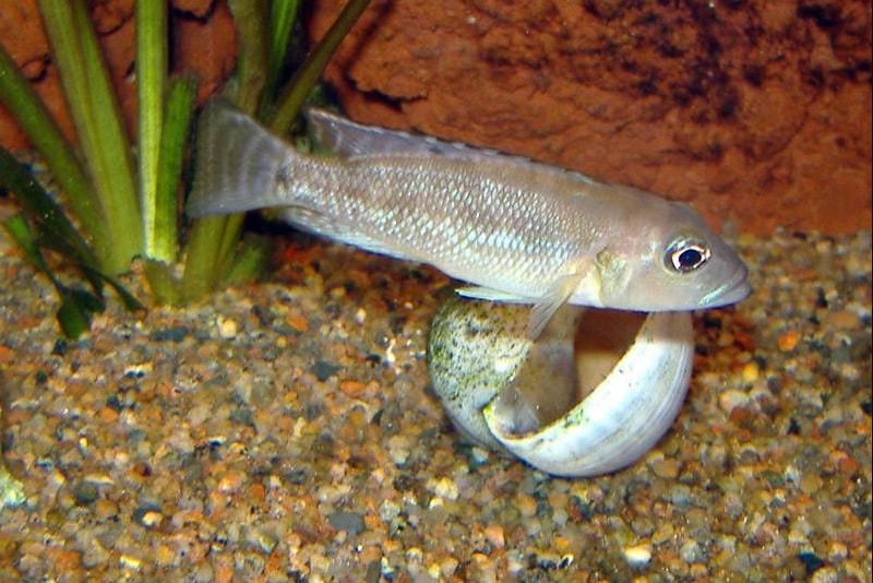 poisson Neolamprologus meeli