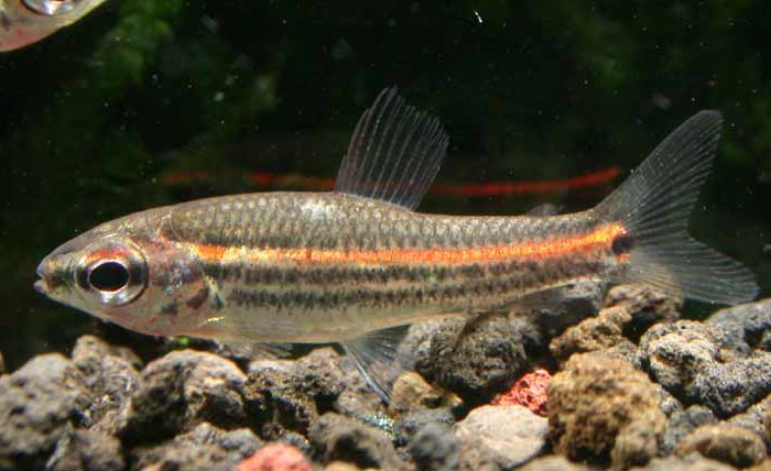 poisson Neolebias trilineatus