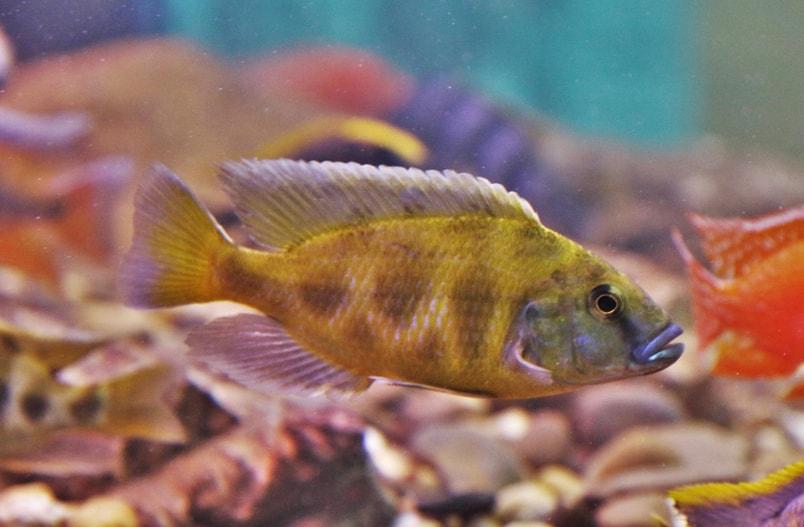 poisson Nimbochromis livingstonii