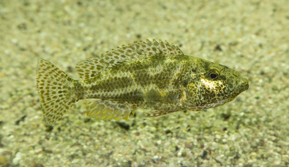 poisson Nimbochromis polystigma