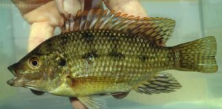 poisson Oreochromis karomo