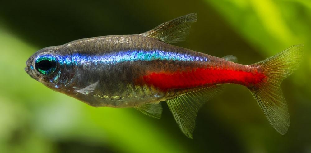 poisson Paracheirodon simulans