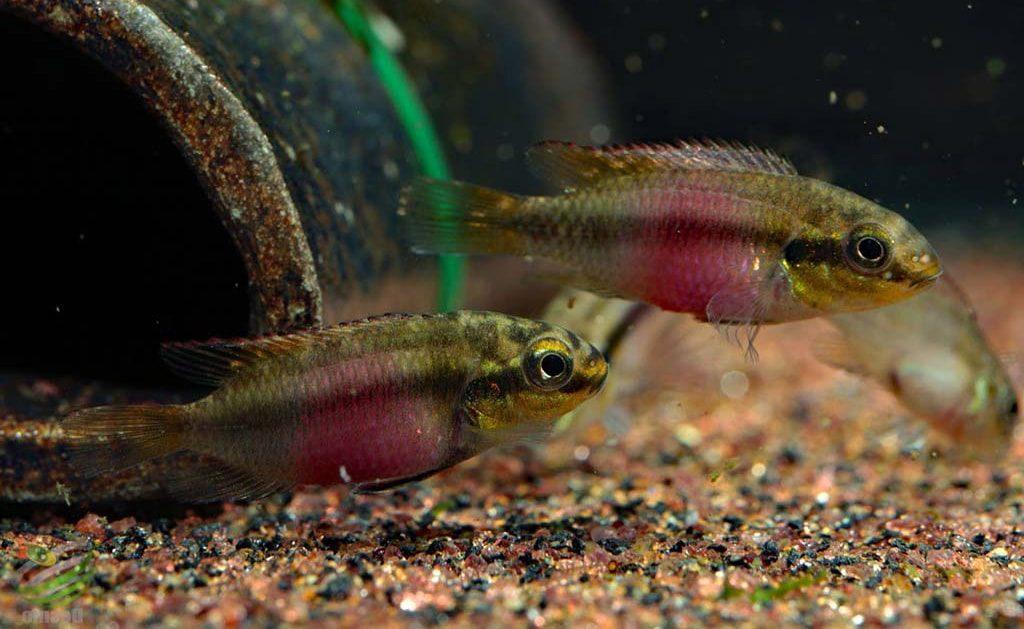 poisson Pelvicachromis subocellatus