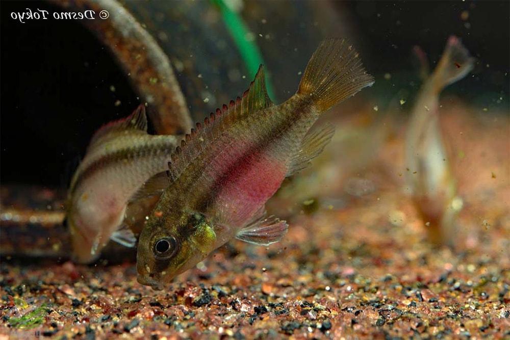 poisson Pelvicachromis subocellatus (2)