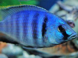 poisson Placidochromis electra