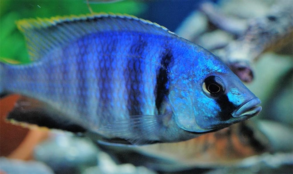 poisson Placidochromis electra