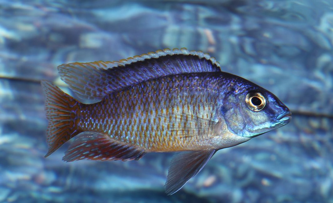 poisson Protomelas fenestratus