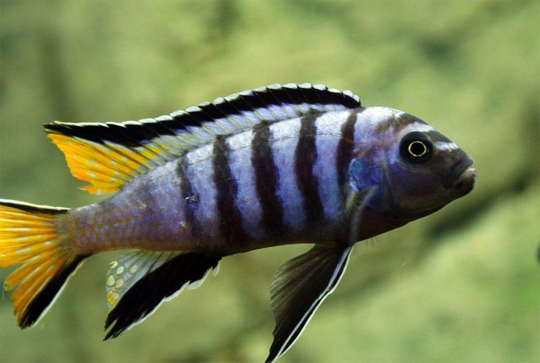 poisson Pseudotropheus elongatus