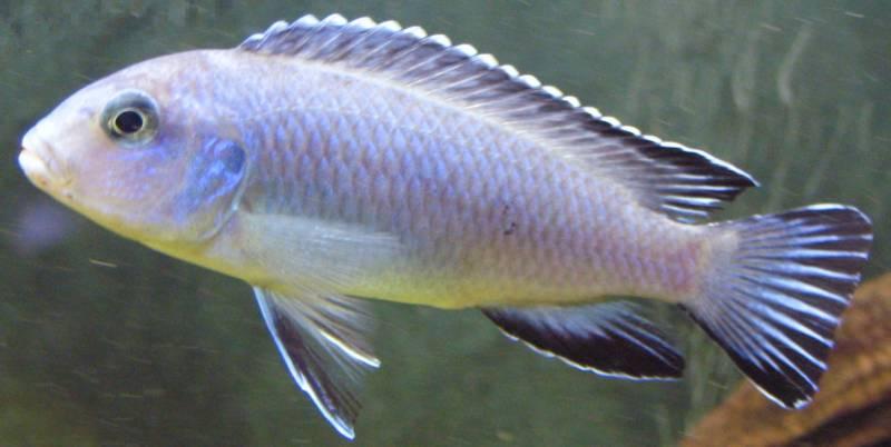 poisson Pseudotropheus socolofi