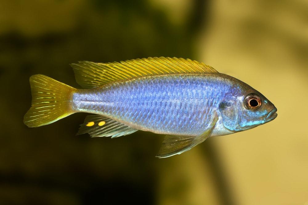poisson Pseudotropheus sp. acei