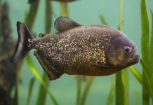 poisson Pygocentrus nattereri