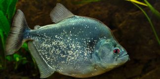 poisson Serrasalmus geryi