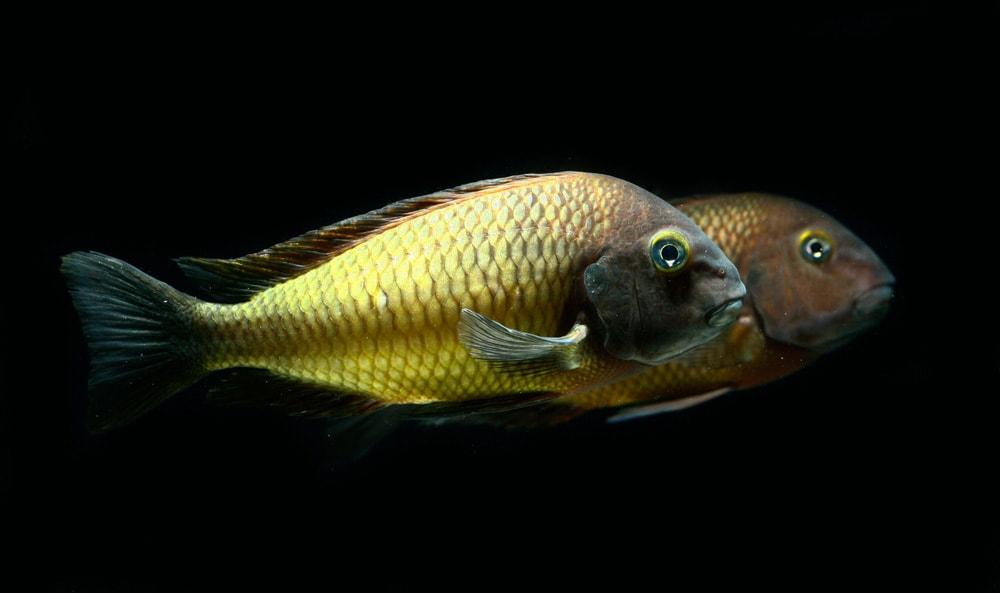poisson Tropheus moorii