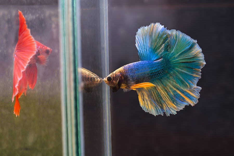 Les différents formes et couleurs de poissons Combattants