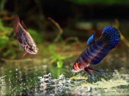 Nourriture vivante poisson vers grindal