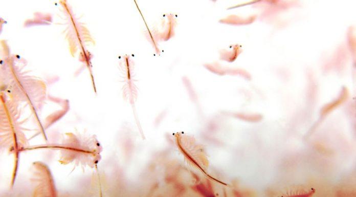 accélérer l'éclosion des nauplies d'artémia